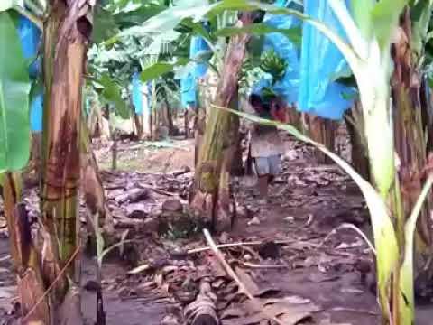 Download Begini Cara Panen pisang Di luar Negeri