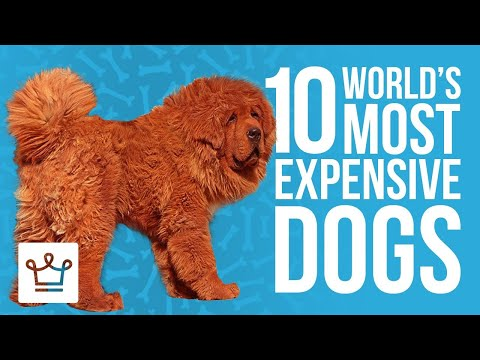 Most Expensive Dogs In The World Top 10
