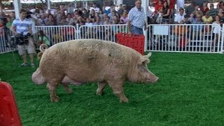 Big Animals of the Fair | Iowa State Fair 2012