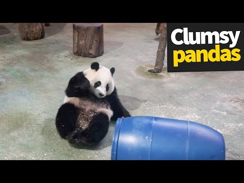Cute and Clumsy Panda Compilation 2019 | Pandas are Awesome