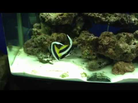 We added some banner fish to out aqua one 850 aquarium