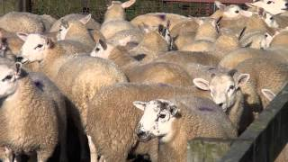 Texel Sheep Society Focus Farm - Hepburn Farms lamb marketing
