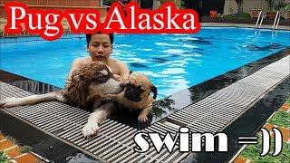 Lần đầu dẫn Alaska Sam đi hồ bơi - Thử xem chó Pug Bư và chó Alaska Sam đứa nào bơi giỏi hơn =))