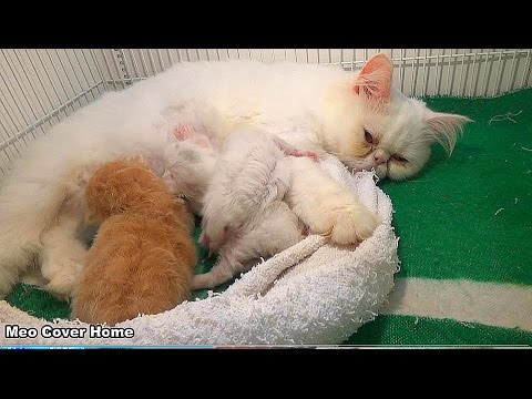 3 Kittens Find Milk So Cute | Kittens Meowing For Food | Meo Cover Home