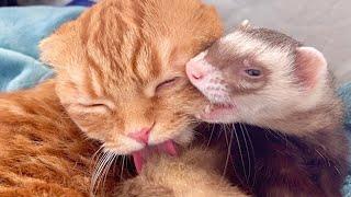 寝ぼけている末っ子猫とフェレットが可愛すぎる | Cat&Ferret