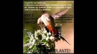 Legalização cannabis, opiniões várias.( C/ ÁUDIO).avi