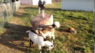 Wolf and Billy goat fight