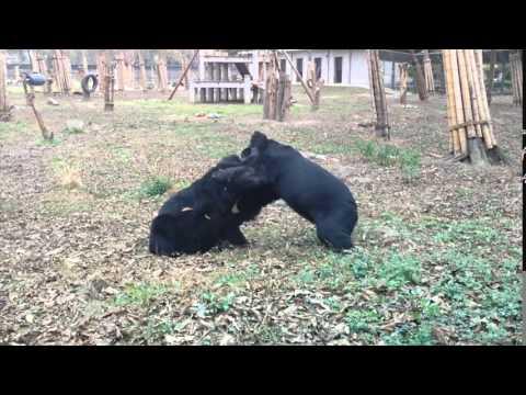 The Big Bear Wrestle!