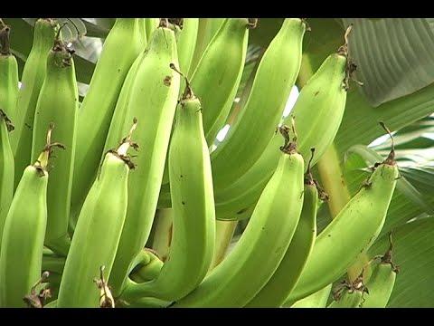 Asociaciones familiares  para el cultivo de Plátano y Banano - TvAgro por Juan Gonzalo Angel