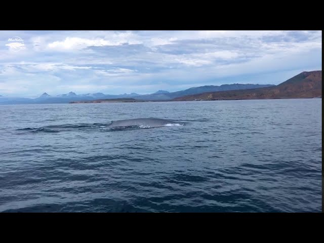 Gray whale in Loreto, BCS, Mexico.