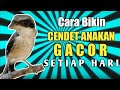 Rahasia Bikin Cendet Anakan Trotol Rajin Ngeriwik Auto Gacor  Mp3 - Mp4 Download