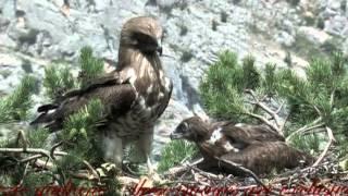 Meet the Hawk (Short-toed Eagle) - Il Biancone (Circaetus gallicus)