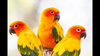 Sun conure | hand tamed conure | wonderpets