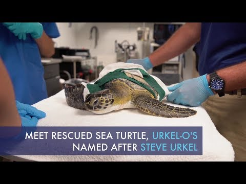 Rescued sea turtle released after losing flipper due to fishing line entanglement