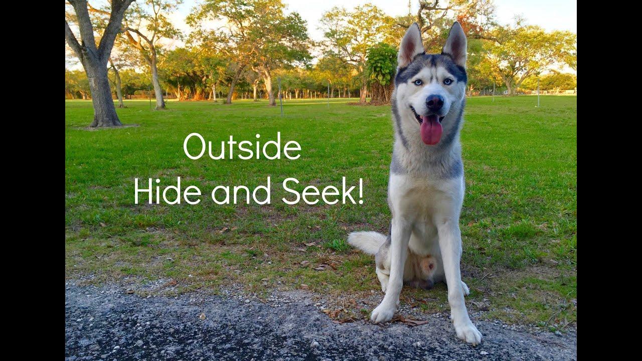 Husky Outside Hide and Seek!