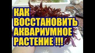 Восстановление Альтернатеры Мини ч.3. Итог. Как выращивать Аквариумные растения