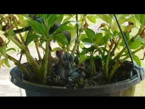Mother bird feeding four baby House Finches