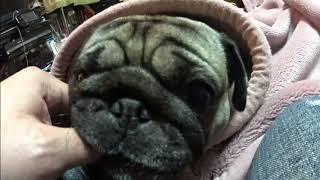 我が家の愛犬パグ「サクラ」サクラは女の子。でも父ちゃんより母ちゃん...
