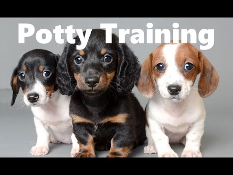 Potty Training Tips For Dogs Free