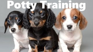 How To Potty Train A Chiweenie Puppy - Chiweenie House Training Tips - Housebreaking Chiweenie