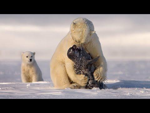 POLAR BEARS HUNTING AND FEEDING SEALS TIMES