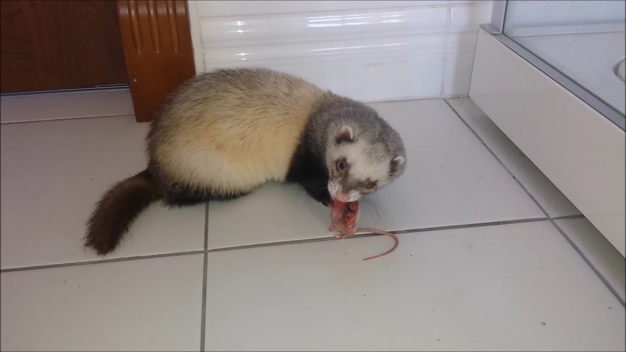 Raw diet meal plan for ferrets
