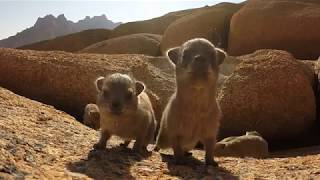 Baby rock dassies inspect gopro !