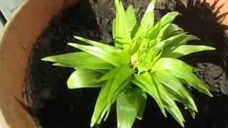 Рябчик императорский. Очень нужен совет!(В этом видео я прошу совета по уходу за рябчиком у тех, кто знает и любит этот цветок Этот ролик обработан..., 2016-02-18T15:13:17.000Z)