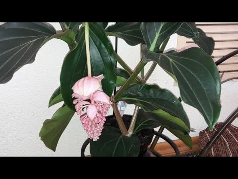 Мединилла цветок уход в домашних условиях