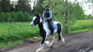 Irish cob Ian galloping in the terrain
