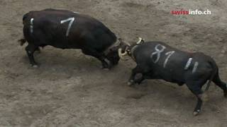 Cow fighting in Switzerland