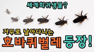 [세계최초] 거꾸로 날아다니는 호바퀴벌레 등장!!