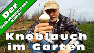 Knoblauch im Garten