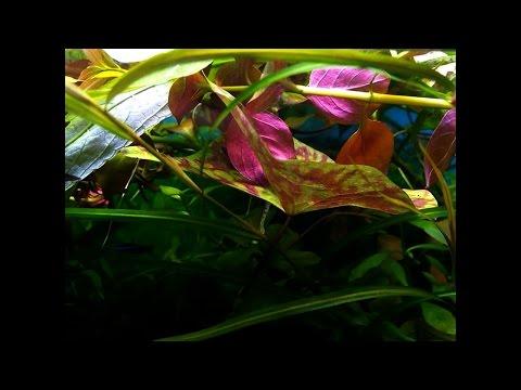Людвигия ползучая, Репенс (Ludwigia repens). Прополка 04.03.16. Аквариумные растения.