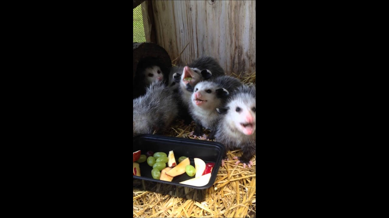 Baby Opossums Eating Fruit: Video | Time