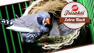 BIRD PLANET : Mengenal Zebra Finch di Trisakti Bird Farm
