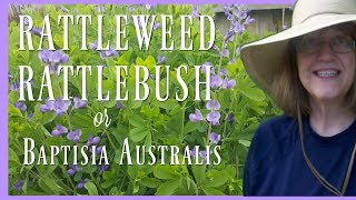 Do you have the Baptisia australis or the False Blue Indigo Plant i...