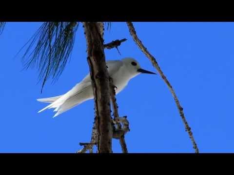 A White Tern found on Wake Island