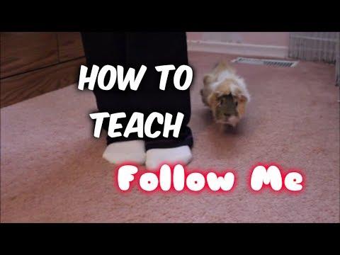 How to Teach a Guinea Pig to Follow You