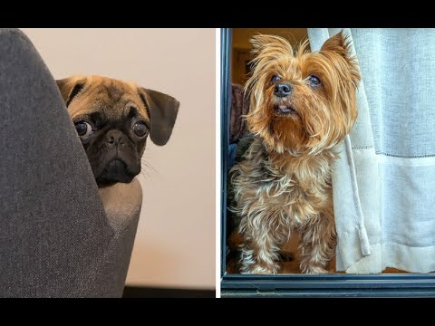 Top 10 Dog Breeds that Stay Small Forever