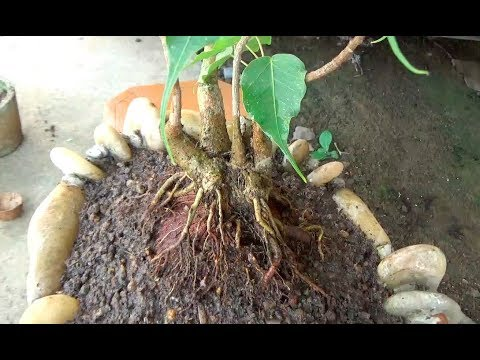 How to Bonsai a Peepal tree (With English subtitle)