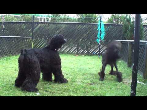 Afghan hounds playing.