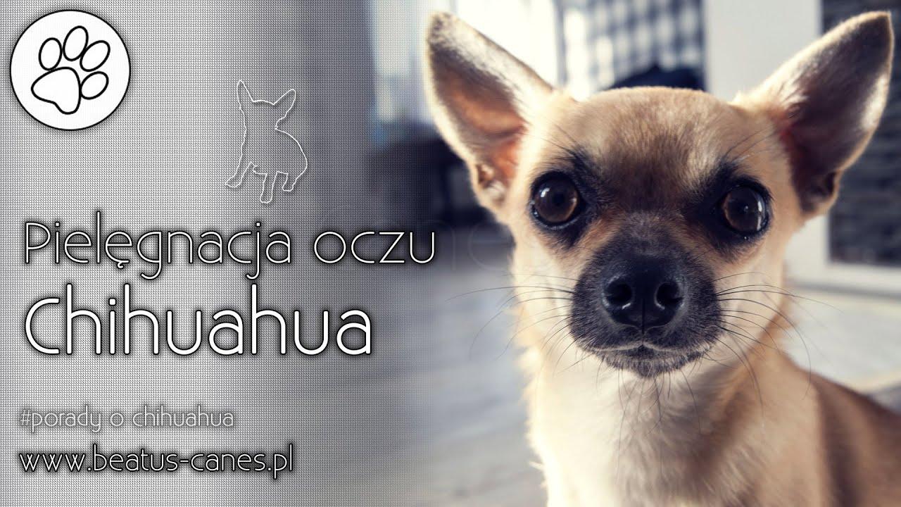 R Chihuahuas Smart Pielęgnacja oczu chih...