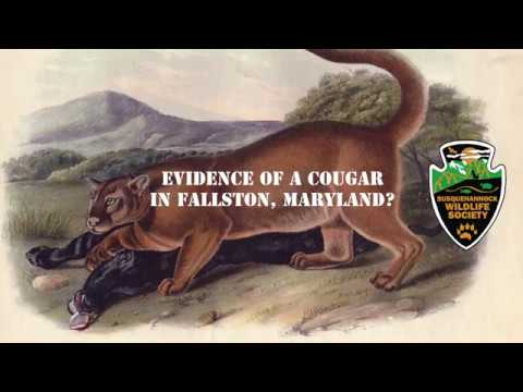 Video Evidence of a Cougar or Mountain Lion in Fallston, Maryland?