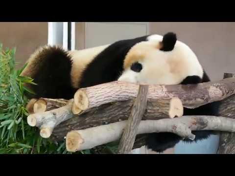 パンダ 食う、寝る、糞する