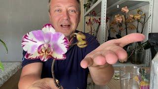 ОРХИДЕИ УЦЕНКИ после МУЧНИСТОГО ЧЕРВЕЦА и пересадки орхидей в составной грунт