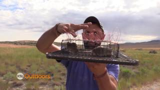 Capturing Short Eared Owls