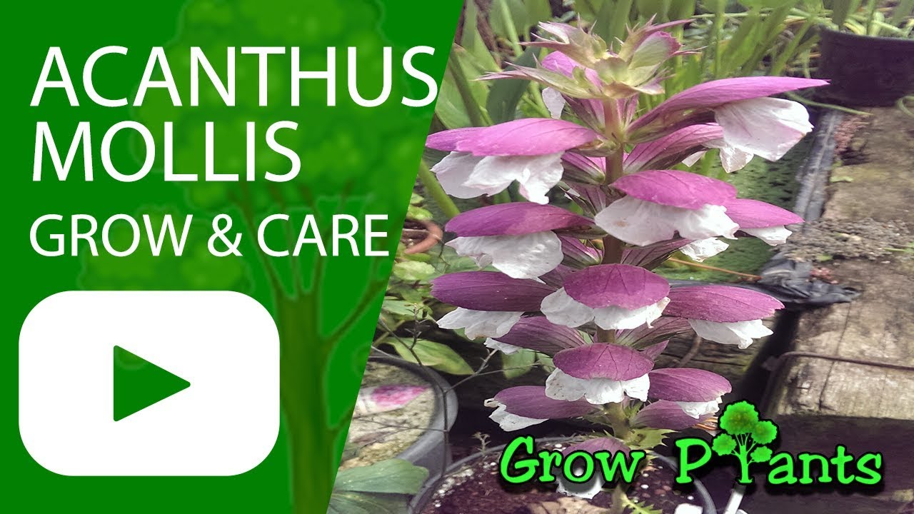 Acanthus Mollis Oyster Plant Growing And Care Youtube
