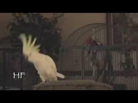 Una cacatúa prueba que los animales también responden a la música