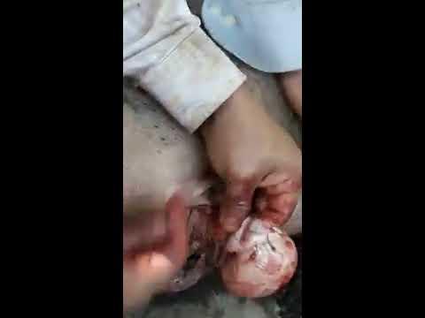 como castrar a un cerdo